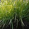 Carex elata 'Bowle's Golden', habit