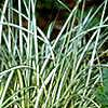 Carex morrowii 'Aureovariegata', habit