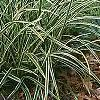 Carex morrowii 'Ice Dance', habit