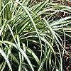 Carex oshimensis 'Evergold', habit