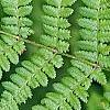 Athyrium filix-femina, leaves