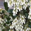 Pieris japonica, flowers