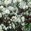 Rhododendron 'April Snow', habit