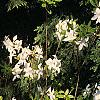 Rhododendron 'White Lights', habit