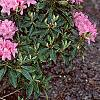 Rhododendron 'Weston's Mayflower', habit