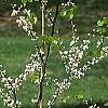 Cercis canadensis 'Royal White', habit