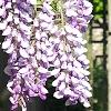 Wisteria sinensis, flowers