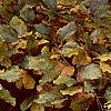 Fagus sylvatica, fall color