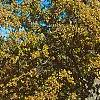 Quercus alba, fall color