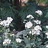 Geranium maculatum var. albiflorum 'Helen Gallagher', habit