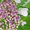 Hydrangea macrophylla 'Bailday' (Light O' Day [TM]), flowers