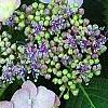 Hydrangea macrophylla 'Blue Billow', flowers