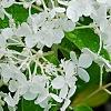 Hydrangea paniculata 'Little Lamb', flowers