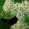 Schizophragma hydrangeoides 'Moonlight', flowers