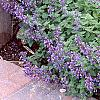Nepeta mussinii 'Blue Wonder', habit