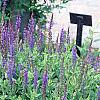 Salvia x superba 'May Night', habit