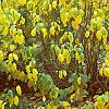 Lindera benzoin, fall color