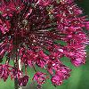 Allium aflatunense 'Purple Sensation', flowers