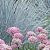 Allium tanguticum 'Summer Beauty', habit