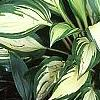 Hosta 'Cherry Berry', habit