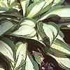 Hosta 'Cat's Eye', habit