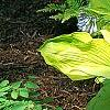Hosta 'Daybreak', habit