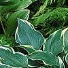 Hosta 'Dark Star', habit