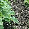Hosta 'Elvis Lives', habit