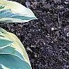 Hosta 'First Frost', habit