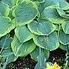 Hosta 'Frances Williams', habit