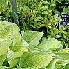 Hosta 'Inniswood', habit