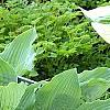 Hosta 'Reptillian', habit