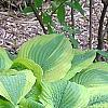 Hosta 'Satisfaction', habit