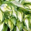 Hosta 'Sea Sprite', habit