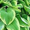 Hosta 'Shogun', habit