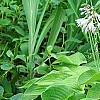 Hosta 'Sun Power', flowers