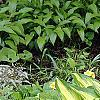 Hosta 'Sea Thunder', habit