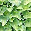Hosta 'Sweet Home Chicago', habit