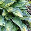 Hosta tardiana 'June', habit