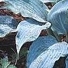 Hosta 'Winfield Blue', habit