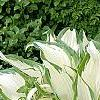 Hosta 'White Christmas', habit