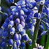 Muscari armeniacum, flowers