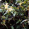 Gelsemium sempervirens 'Woodlander's Pale Yellow', habit