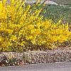 Forsythia x 'Courtasol', habit