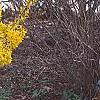 Forsythia 'Goldzauber', habit