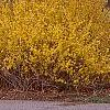 Forsythia x intermedia, habit