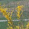 Forsythia 'Northern Gold', habit