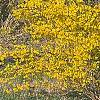 Forsythia 'New Hampshire Gold', habit