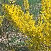Forsythia 'Courtalyn', habit