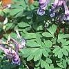 Corydalis solida, habit